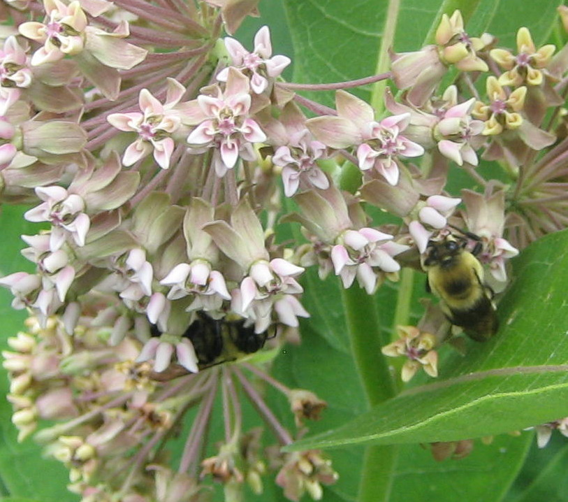 bumblebees-on-common-milkweed