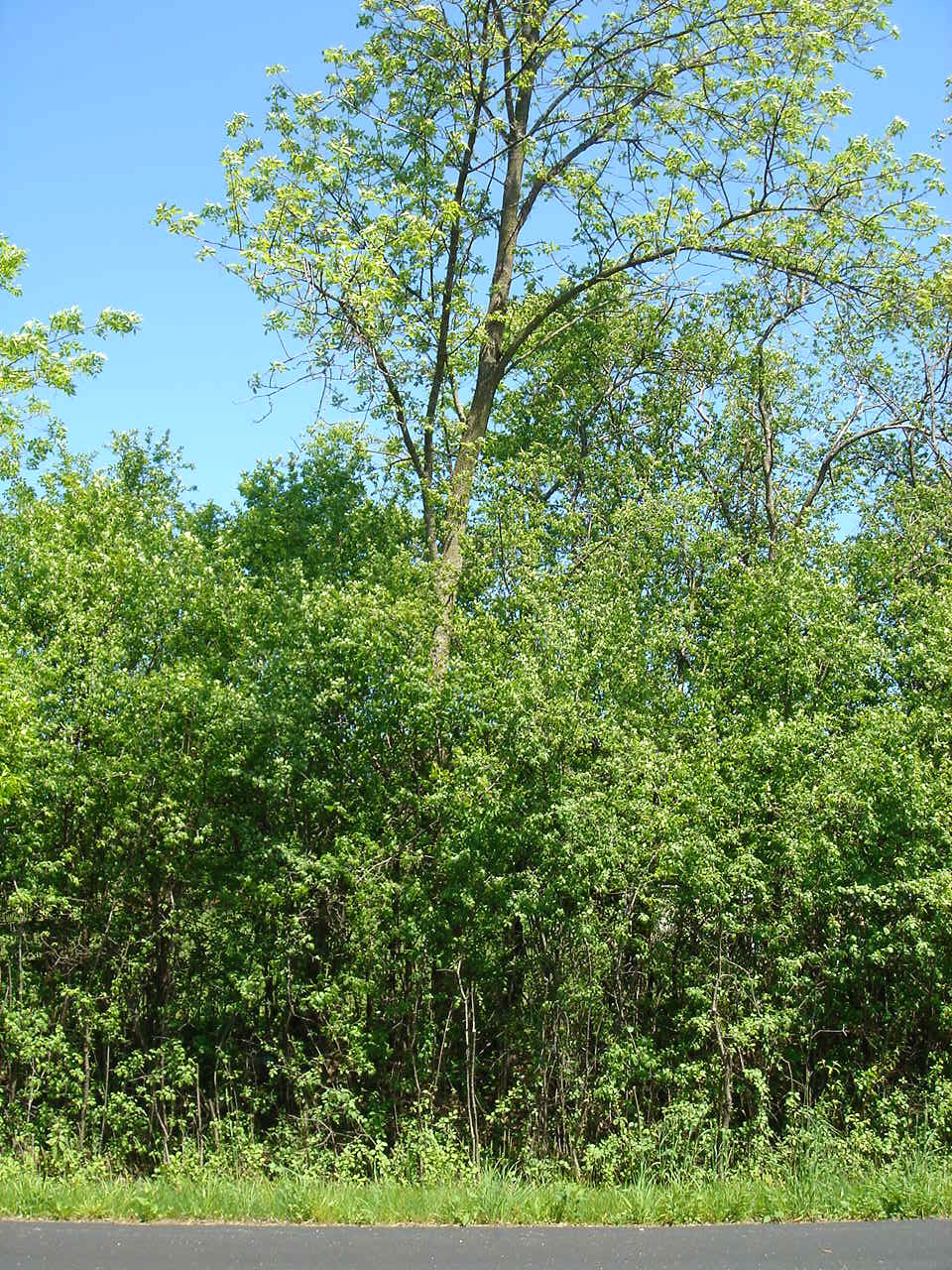 Buckthorn in growing season