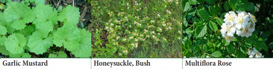 Garlic Mustard, Honeysuckle (Bush), Multiflora Rose