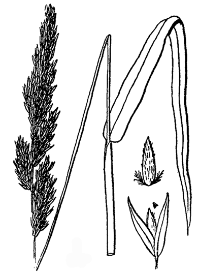 Phalaris arundinacea drawing