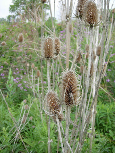 dried teasel
