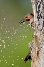 northern flicker escavates her nest cavity
